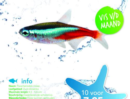 Vis van de maand: Neon Tetra
